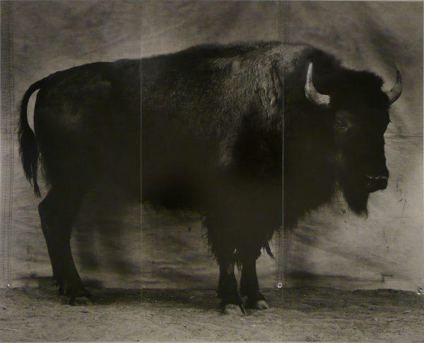 """Balthasar Burkhard, """"Bison"""", 1996 - photographie noir et blanc sur papier baryté, contrecollée sur aluminium - éd. 1/1 - Collection Géotec, achat 2008"""